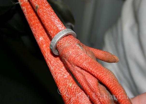 Gefangenschaftsflüchtling Storch - der Zuchtring ist gut erkennbar