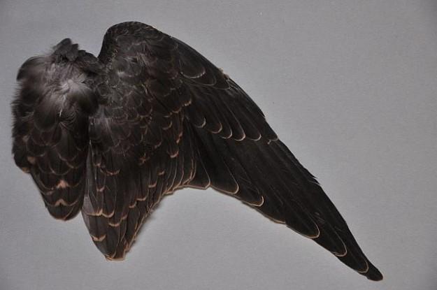 rechter Flügel junger Baumfalke - die hellen Säume sind an den Federn gut zu erkennen