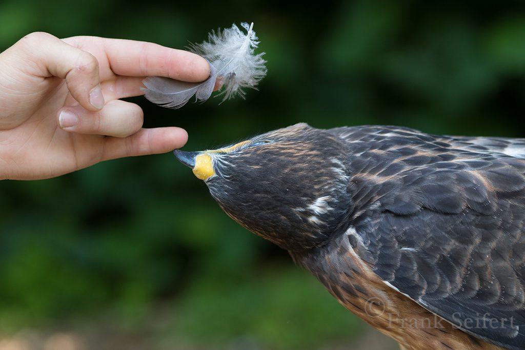 Gefieder Greifvögel