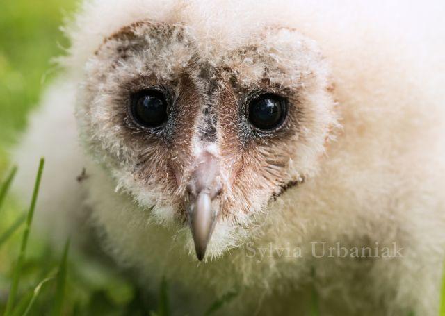 Schleiereule_Tyto_alba_Barn_owl
