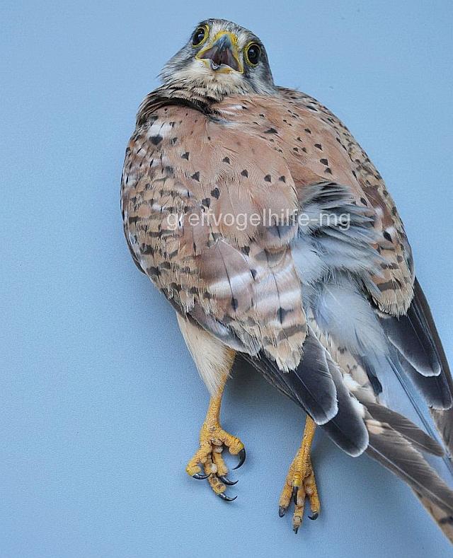 vögel übertragen krankheiten