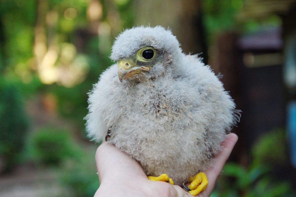 greifvogel in deutschland übersicht