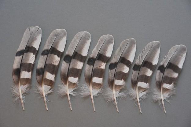 Einzelansicht Armschwinge Wiesenweihe