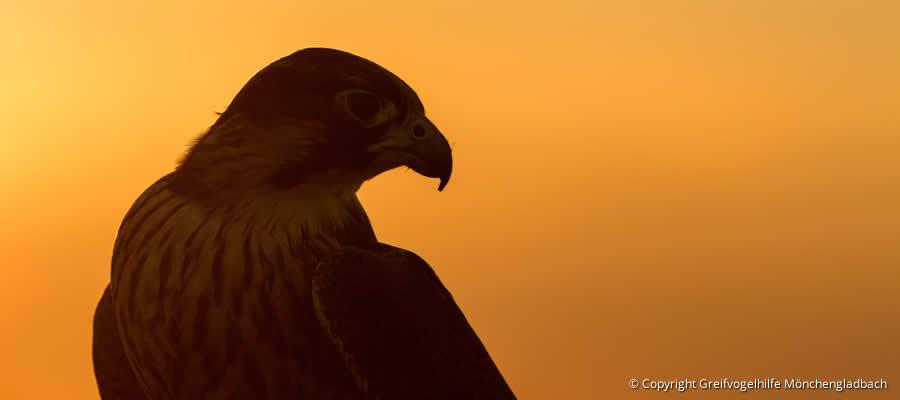 Vogelstimmen Greifvögel / Eulen