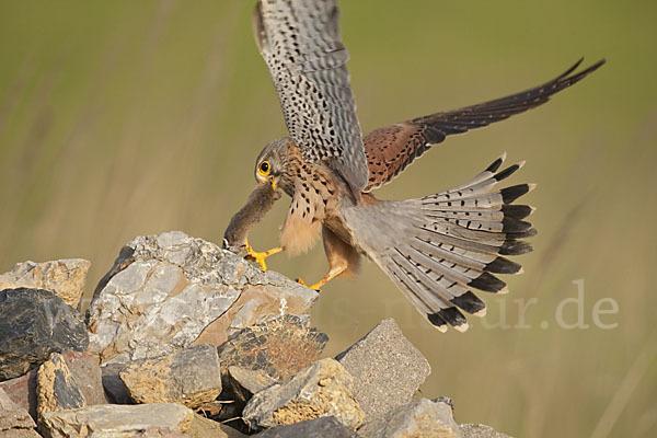 turmfalke-falco_tinnunculus-83324