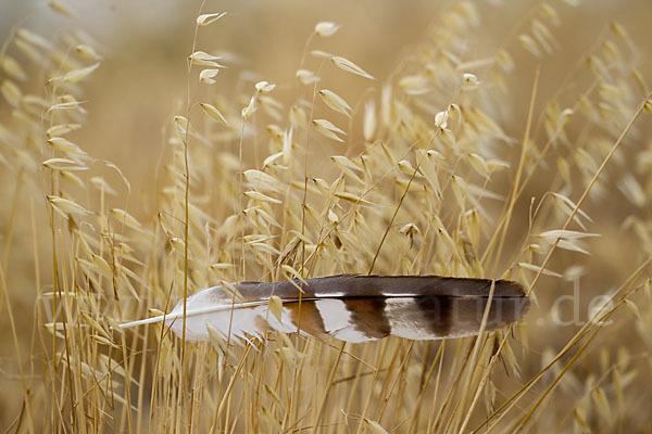 Schwanzfeder einer Wiesenweihe