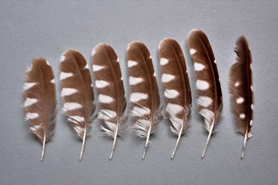 Flügelfedern von einem juvenilen Raufusskauz