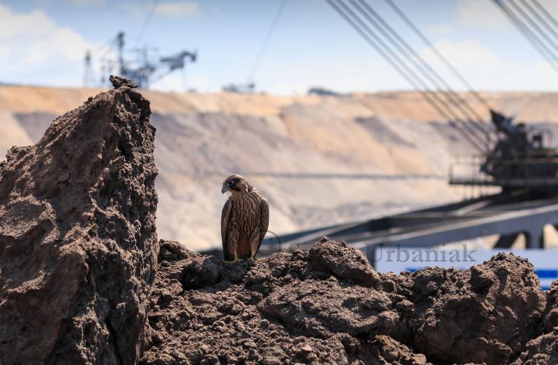 Dieses Foto wurde von mir eingesandt und zeigt einen diesjährigen Wanderfalken vor dem größten Bagger der Welt im Hintergrund