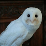 Albino Greifvögel und Eulen?