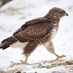 Winterfütterung für Greifvögel und Eulen