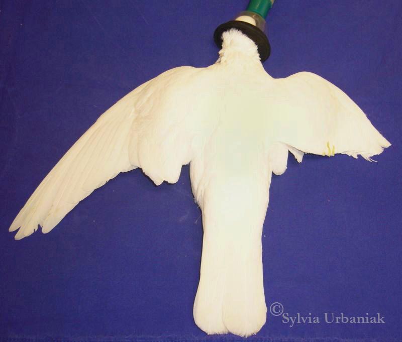 Taube mit gestutzem Flügel - dieses Tier liegt gerade in Narkose