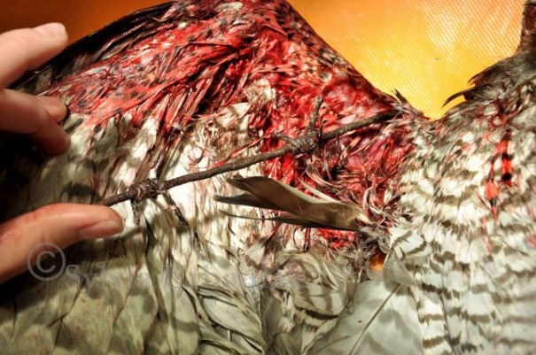 Das Stück Draht muss nun vorsichtig von einem Tierarzt aus der Wunde entfernt werden