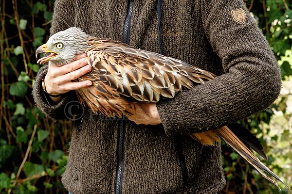Rotmilan Altvogel