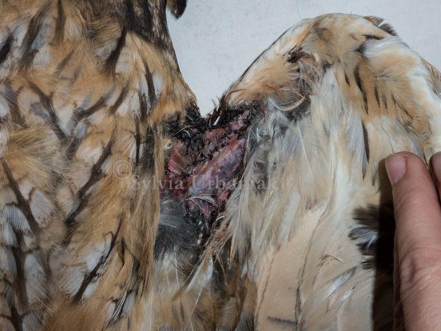 Chirurgische Versorgung der Flügelspannhautverletzung durch Stacheldraht