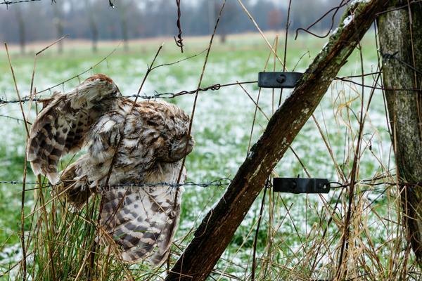 Ein Waldkauz der sich im Stacheldrahtzaun verfangen hat und sicherlich qualvoll starb