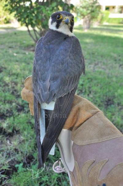 Schwanzschutz für Baumfalken