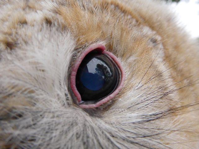normale Augenfarbe und Lidfärbung beim Waldkauz