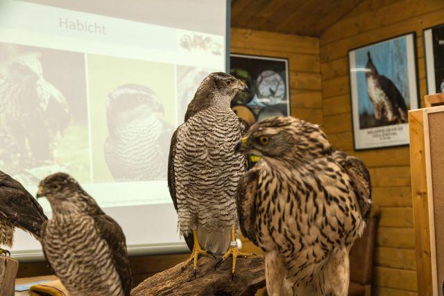 Die einheimischen Greifvögel kennen und und bestimmen lernen