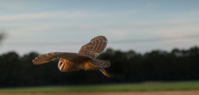 Schleiereule_Flug_Barn_owl_flying