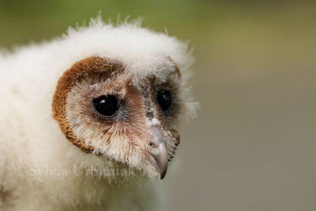 Schleiereule_Jungtier_Tyto_alba_Barn_owl