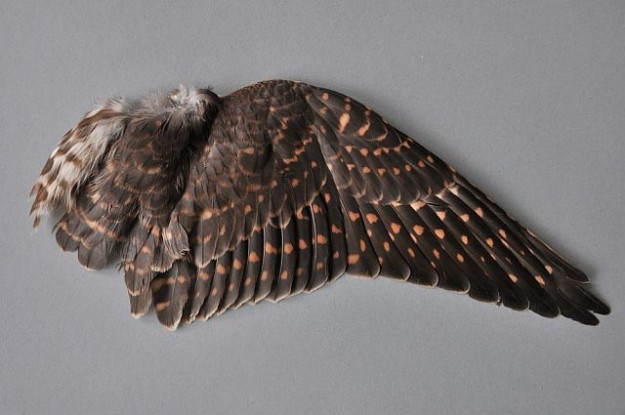 kompletter Flügel eines weiblichen Merlins
