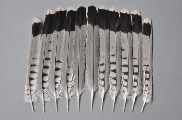 Steuerfedern eines Turmfalken Altvogels (Männchen)