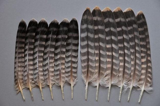 Wanderfalke im Größenvergleich: links das Männchen, rechts das Weibchen