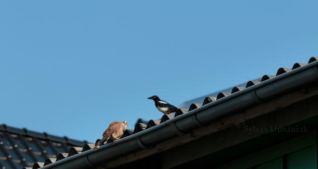 Zwei Jungtiere begegnen sich das erste Mal in der Natur. Dem Turmfalken ist die junge Elster nicht so ganz geheuer