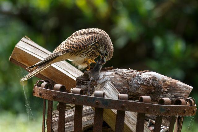 Ein junger Turmfalke hat sich ein Plätzchen zum Fressen gesucht