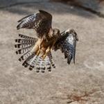Auswilderung mittels Wildflugmethode...