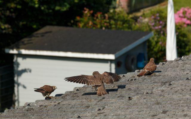 Hier die Zufütterung durch uns bei den jungen Turmfalken im Wildflug. Flachdächer eignen sich besonders gut