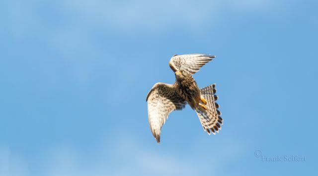 Die Flugfähigkeiten werden von Tag zu Tag besser, die Jungtiere erobern den Luftraum für sich