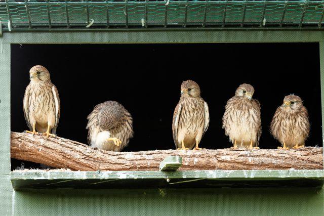 Die Turmfalkenjungtiere beobachten ihre Umgebung von der Freilassungsplattform