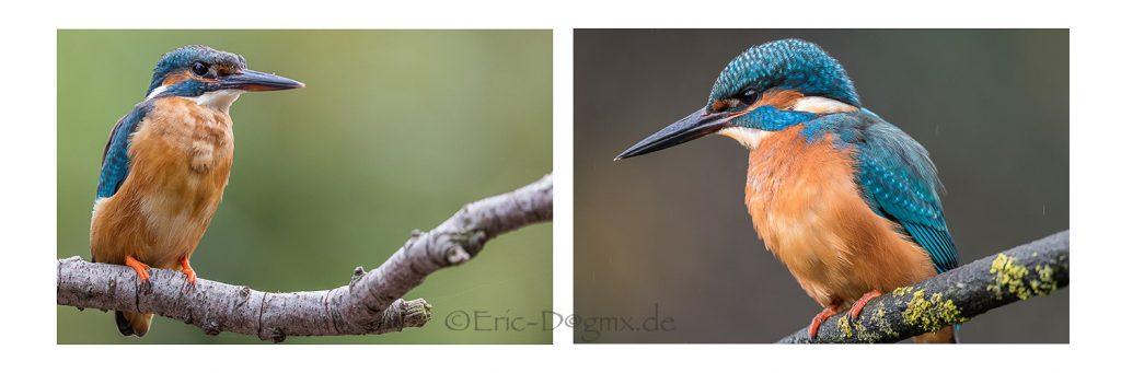 Foto: links das Männchen und rechts das Weibchen