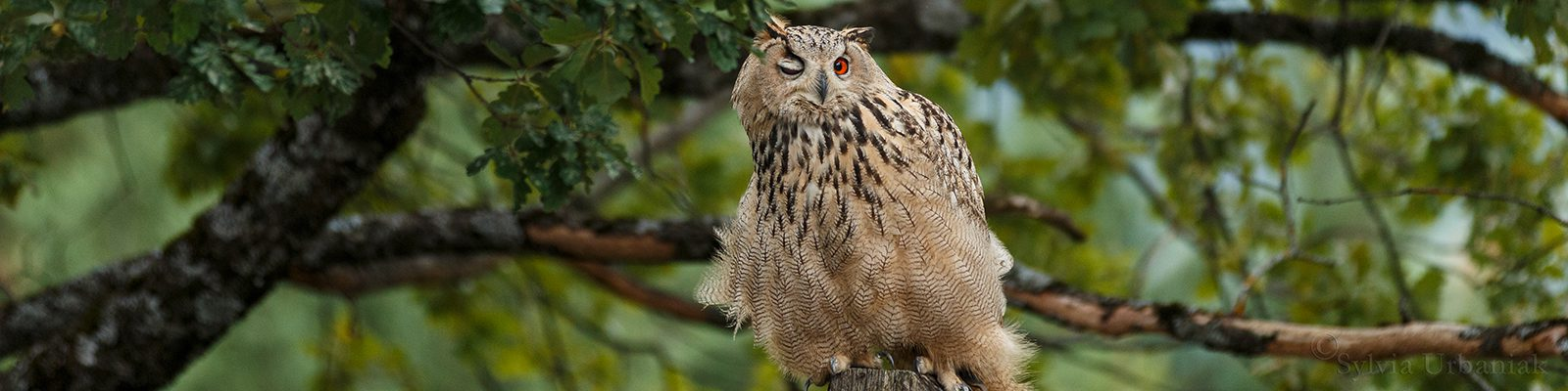 slider_uhu_auge_eagle_owl