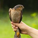 Der Greifvogel Sperber