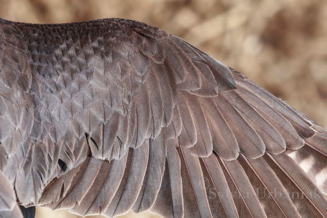 Flügel eines adulten Baumfalkens, die helle Säumung ist nicht mehr vorhanden