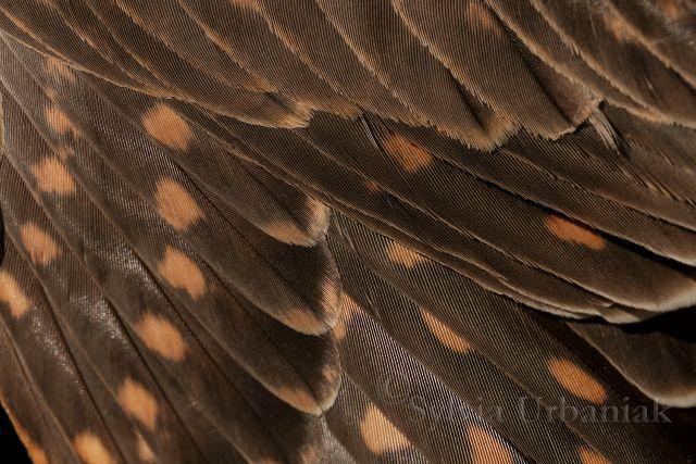Nahaufnahme des Kleingefieders - Juveniles Merlinweibchen