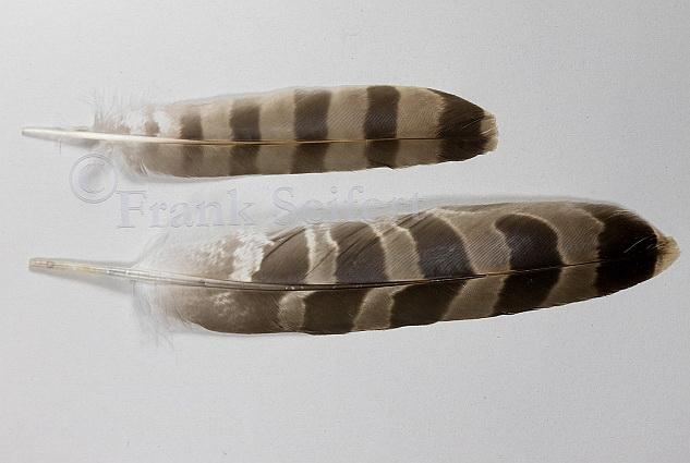 Größenunterschied der Schwanzfedern vom juvenilen Sperberweibchen (oben) und juvenilen Habichtweibchen (unten)