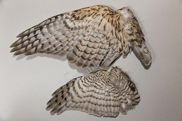 Unterschied der Flügelunterseite zwischen Habichtmännchen (oben) und Sperbermännchen (unten)