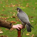 Falkner lassen ihre Vögel hungern....