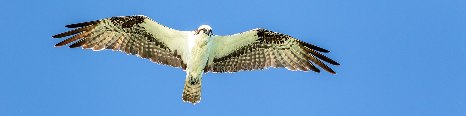 Slider_Fischadler_Osprey_pandion