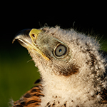 Die Greifvogelhilfe