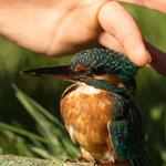 Eisvögel - Ernährung und Pflege